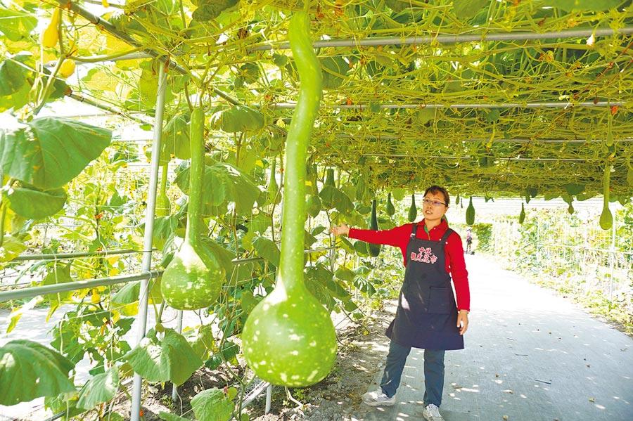 中社花市宣布南瓜節登場,瓜棚種植1公尺長的長柄葫蘆。(王文吉攝)