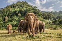 因疫情「失業」 泰國旅遊景點多頭大象徒步「回家」