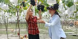 受疫情影響 葡萄觀光果園遊覽車銳減近6成