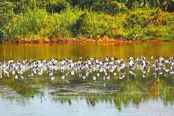 外來種埃及聖鹮暴增 威脅原生鳥