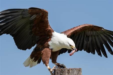 老鷹捕食多快多恐怖 驚悚畫面讓人發毛 - 新知頻道