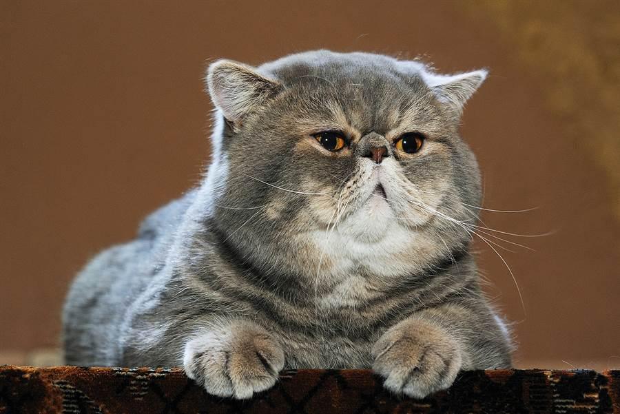 貓貓無辜的大臉常常拿來開玩笑。(圖/shutterstock)