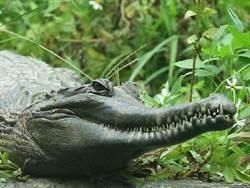 鱷魚是好媽媽!產完蛋後 在巢旁日夜守候寶寶誕生