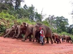 疫情侵襲「失業」!11頭象群重獲自由 5天行150公里返原生地