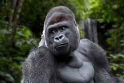 機器猩猩臥底潛入叢林 猩猩群反應好驚人