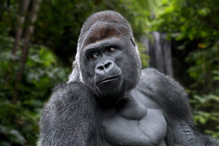 機器猩猩不僅會閉合眼睛,甚至還會拍打胸脯,為了不被猩猩群發現(示意圖/達志影像)