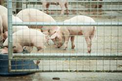 陸展善意大買美豬 半年來最大量