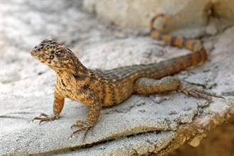 美國發現超肥蜥蜴 專家一看體內物驚呆
