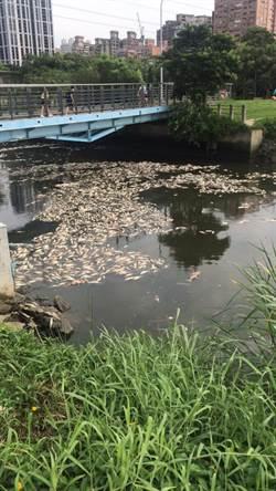 大台北河川萬條魚翻肚臭爆 環保署曝原因