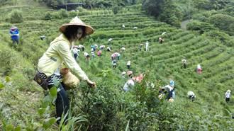 契作聯盟助有機茶行銷 防疫期間輕鬆品茗