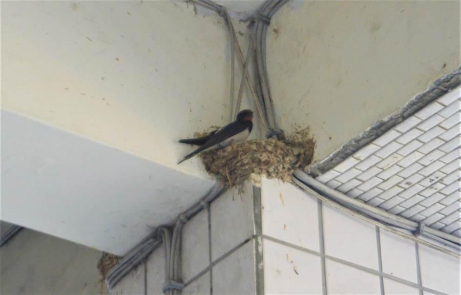 家燕會在騎樓築巢,繁衍下一代。(巫靜婷攝)