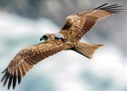 台灣黑鳶有候鳥族群!屏科大首紀錄北返行跡