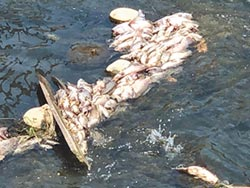 魚群暴斃 專家認為少雨導致
