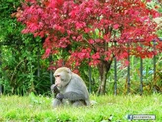 春筍被潑猴啃光 農點大龍炮爆竹驅猴炸斷大拇指