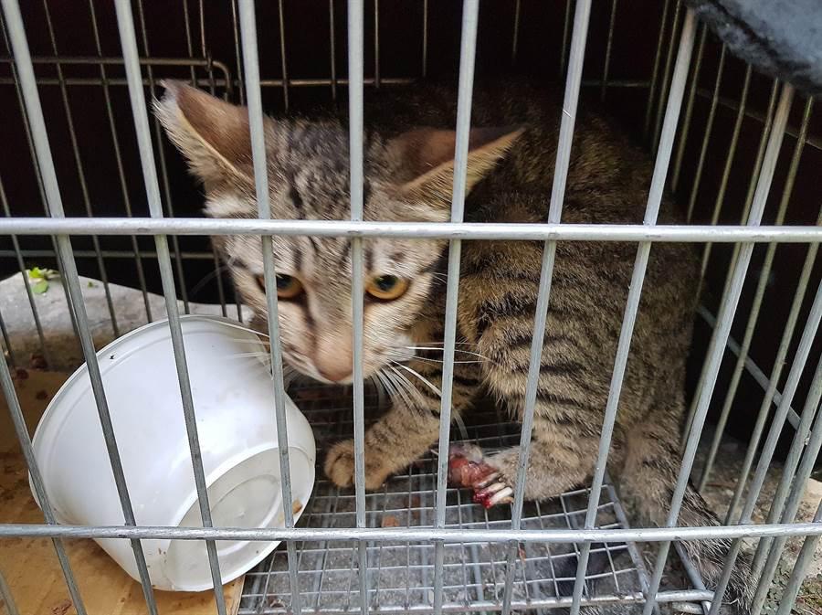 民眾向台灣動物緊急救援小組通報,指在岡山開元街附近市場,發現1隻流浪貓遭捕獸夾切斷左後腳掌。(翻攝照片/林瑞益高雄傳真)