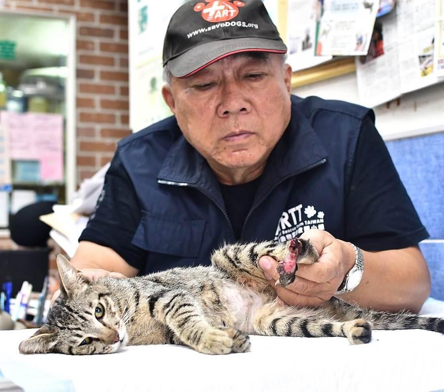 台灣動物緊急救援小組人員檢視受傷貓咪的傷口,貓咪相當配合。(翻攝照片/林瑞益高雄傳真)