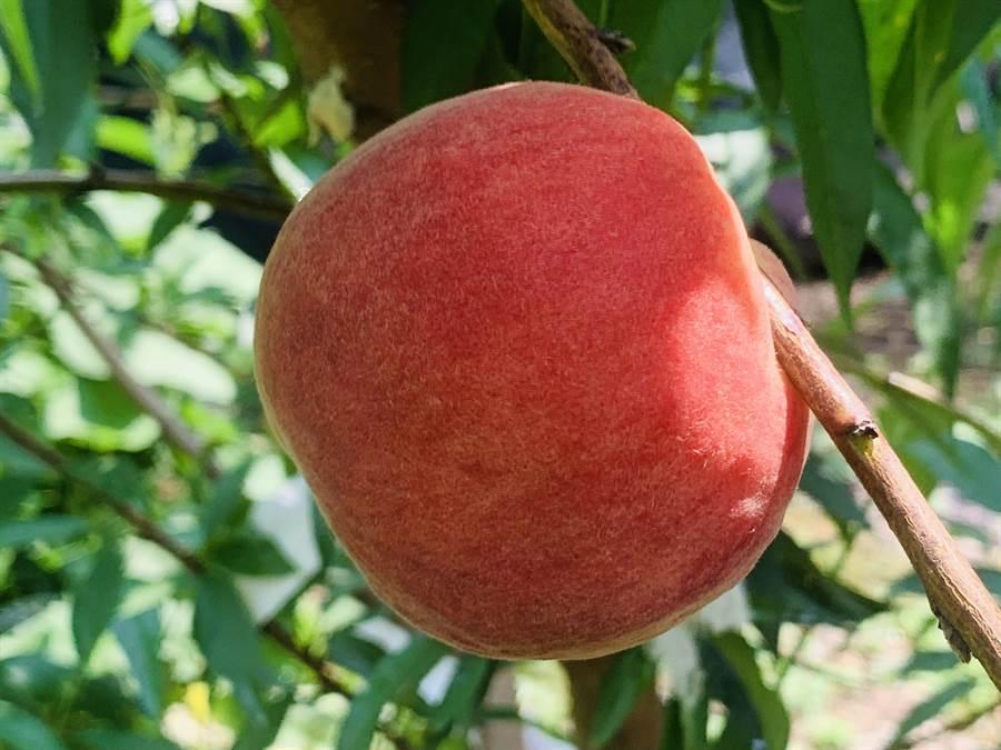 布農甜桃成熟時,軟硬都好吃。(廖志晃攝)