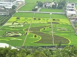 發展甲安埔觀光高美濕地彩繪稻田   市議員:正是觀賞好時機