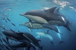 爭奪獵物 上百猛鯊與巨鯨展開激烈進食秀