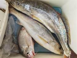 布袋北堤正值三牙魚季 釣客趨之若鶩