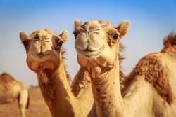 《好好聽》駱駝血清可治新冠肺炎?其實動物治病不陌生