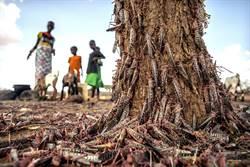 東非蝗災再起 規模暴增20倍 70年來最大