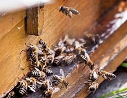 驚人!整天嗡嗡嗡 他家天花板竟躲10萬隻蜜蜂