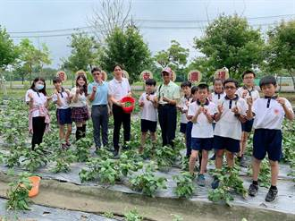 官田國小學童搶收自種毛豆 幫自己加菜