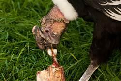 巨大猛禽鎖定兇犬當獵物 2邊緊張對峙