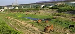 蘆竹特有風情遭檢舉 飼主溪邊放牛吃草