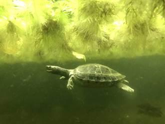 這個「冰鎮西瓜」會游泳?西瓜龜曬日光浴享受夏天