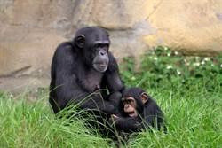 揭秘!金剛猩猩有可愛室友!黑猩猩為何不能混居?