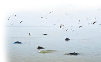 江西鄱陽湖 江豚樂園