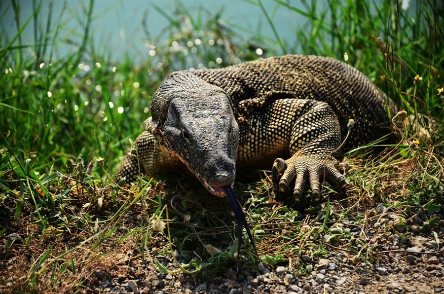 棄嬰被丟池塘邊 遭巨蜥啃食內臟全翻出(巨蜥示意圖/達志影像)
