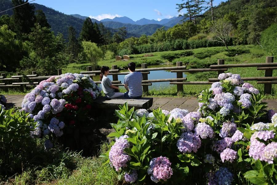 武陵農場預告繡球花季6月登場,當月優惠拍婚紗新人免費入園。(武陵農場提供/王文吉台中傳真)