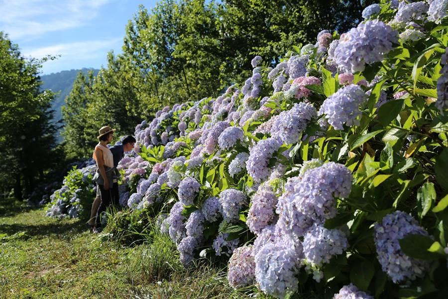 武陵農場日夜溫差超過15度,繡球花比其他地區更壯大碩麗。(武陵農場提供/王文吉台中傳真)