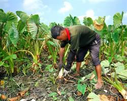 實際從事務農人員因投勞保 領不到農民紓困金