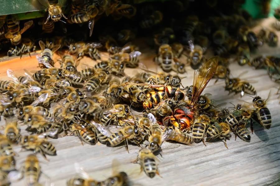 小蜜蜂遇巨型殺人胡蜂襲擊 智取扭轉結局(示意圖/達志影像)