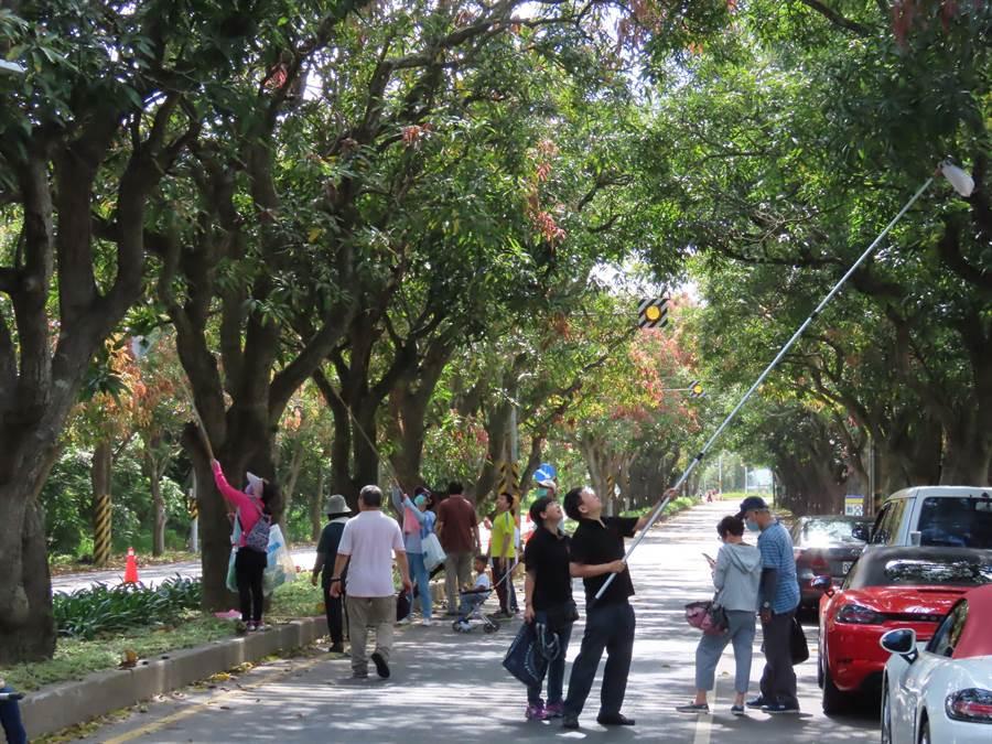 柳營區公所在義士路太康綠色隧道封路舉辦採摘土芒果活動。(莊曜聰攝)