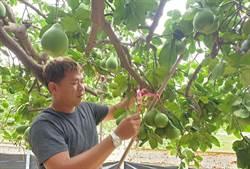 麻豆文旦產量預計持平 大果收購將持續辦理