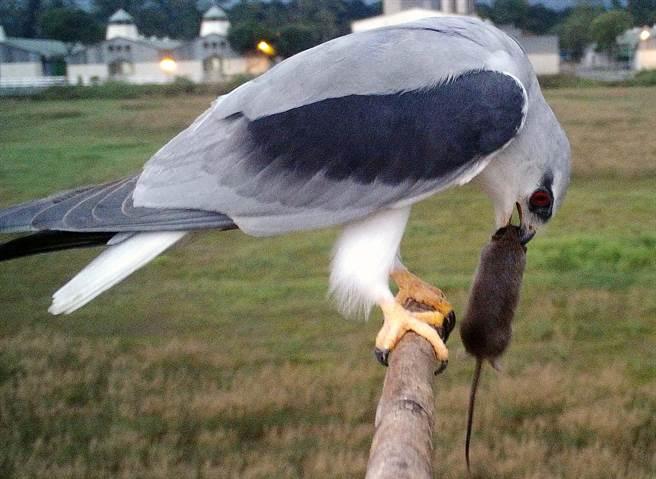 屏科大鳥類生態研究室在空曠田野中豎起7至9米高的「老鷹棲架」,提供黑翅鳶棲息及覓食。圖為黑翅鳶吃老鼠。(屏科大鳥類生態研究室提供/潘建志屏東傳真)
