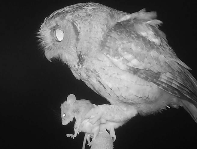 屏科大鳥類生態研究室在空曠田野中豎起「老鷹棲架」,提供領角鴞棲息及覓食。圖為領角鴞吃老鼠。(屏科大鳥類生態研究室提供/潘建志屏東傳真)