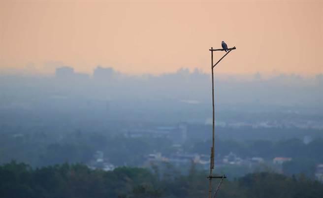 屏科大鳥類生態研究室在空曠田野中豎起7至9米高的「老鷹棲架」,提供黑翅鳶等猛禽棲息及覓食,協助農民降低鼠害。(屏科大鳥類生態研究室提供/潘建志屏東傳真)