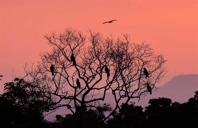 屏科大是台灣南部重要的黑鳶棲地,能見到黑鳶夜棲樹上的壯觀景像。(屏科大鳥類生態研究室提供/潘建志屏東傳真)