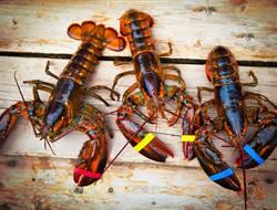 龍蝦比生薑還便宜 澳洲政府包機出貨止損