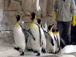 萌!國王企鵝「晨走特訓」!穿3D列印鞋走秀當麻豆