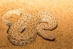 藏身炙熱沙漠 猛蛇急襲鏟吻蜥1秒生吞