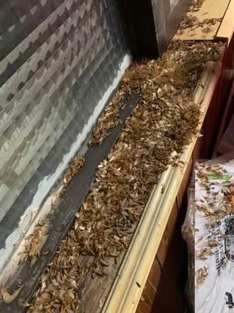 白蟻能穿過紗窗入侵 原因曝光