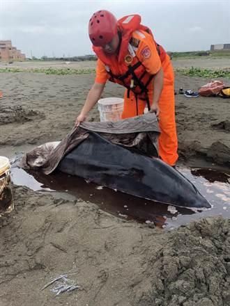 小抹香鯨擱淺桃園觀音海岸 海巡動保即刻搶救