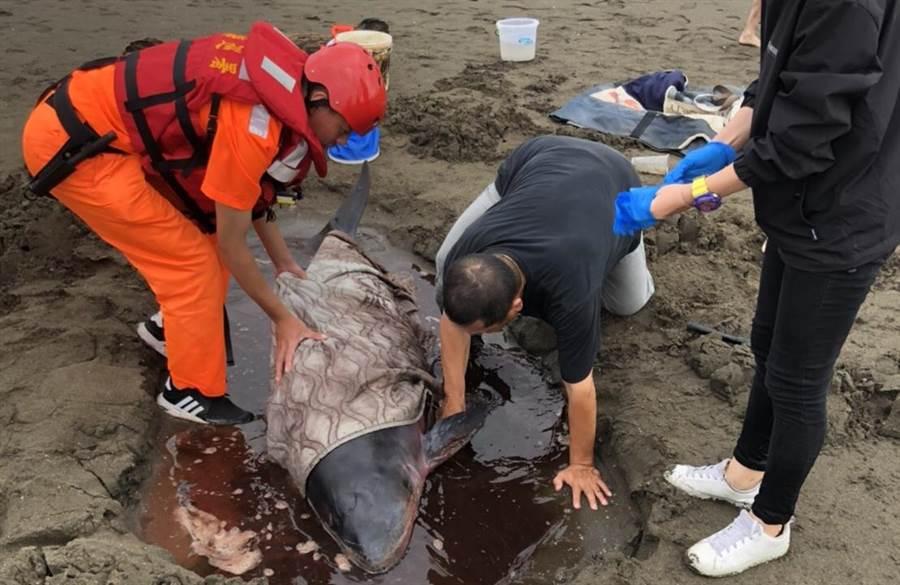 小抹香鯨擱淺觀音海岸,海巡急救援送往八斗子治療。(第8岸巡隊提供)